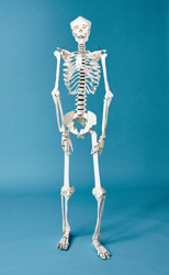 Picture of Build Your Own Human Skeleton – Life Size!